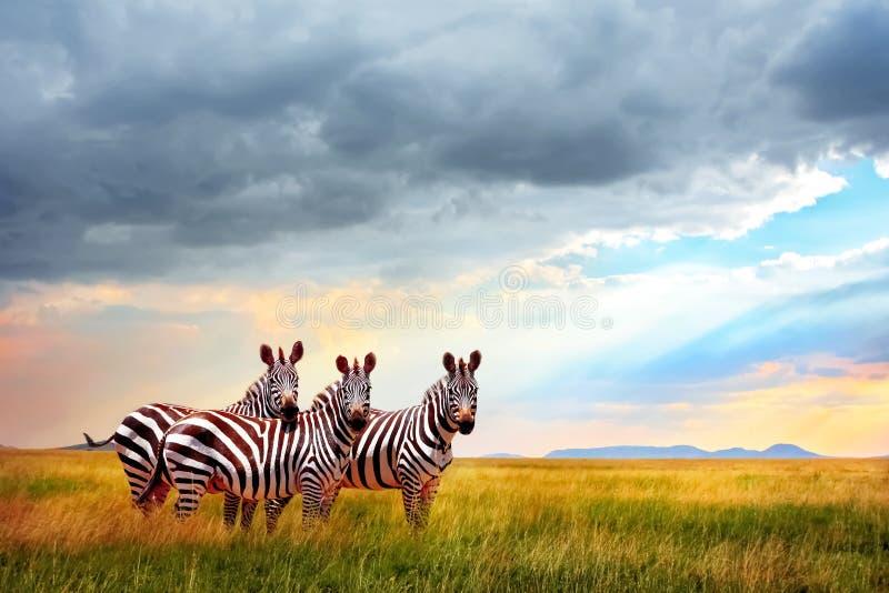 Gruppe Zebras in der afrikanischen Savanne gegen den schönen Himmel mit Wolken bei Sonnenuntergang stockfoto