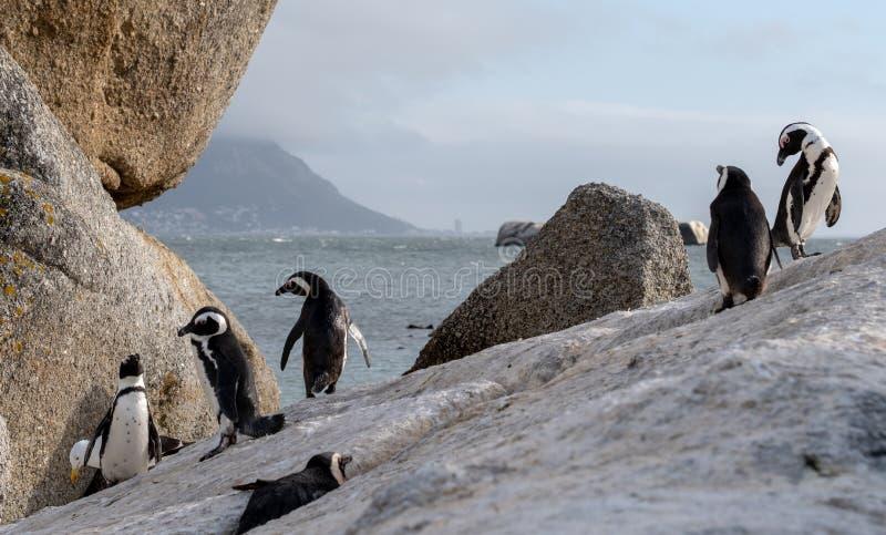 Gruppen av afrikanska pingvin på vaggar på stenblockstranden i Cape Town, Sydafrika royaltyfri bild