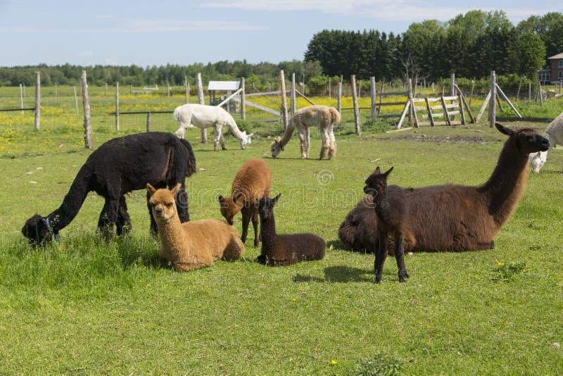 Gruppen av behandla som ett barn och vuxna alpacas och en stora laman som vilar eller betar i deras bilaga royaltyfri bild
