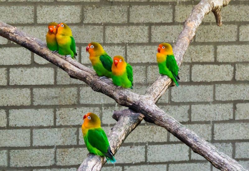 Gruppen av dvärgpapegojor stänger sig tillsammans på tropiska och färgrika dvärg- papegojor för filial, från Afrika arkivbild