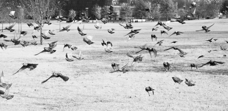 Gruppen av fågelflyget i parkerar huswashington för c D white C royaltyfri foto