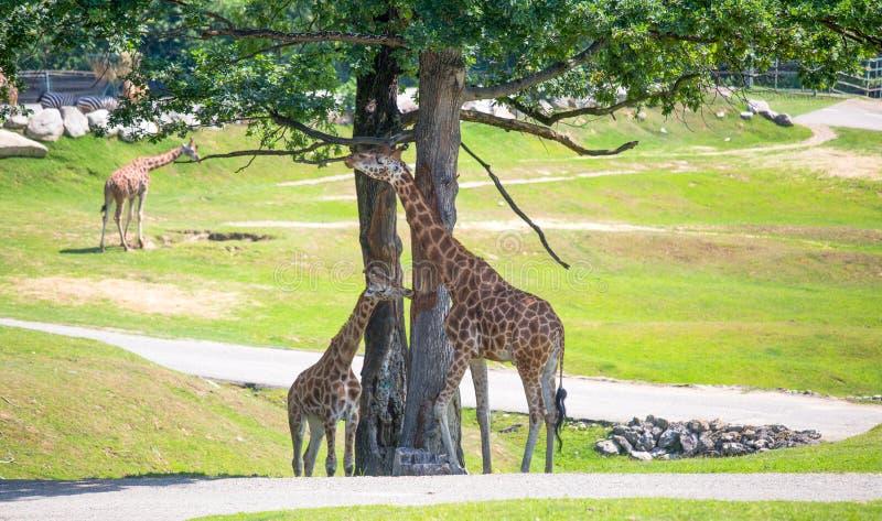 Gruppen av giraff som betar i, parkerar royaltyfri bild
