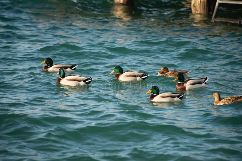 Gruppen av gräsand simmar i den lugna sjön av vintern fotografering för bildbyråer