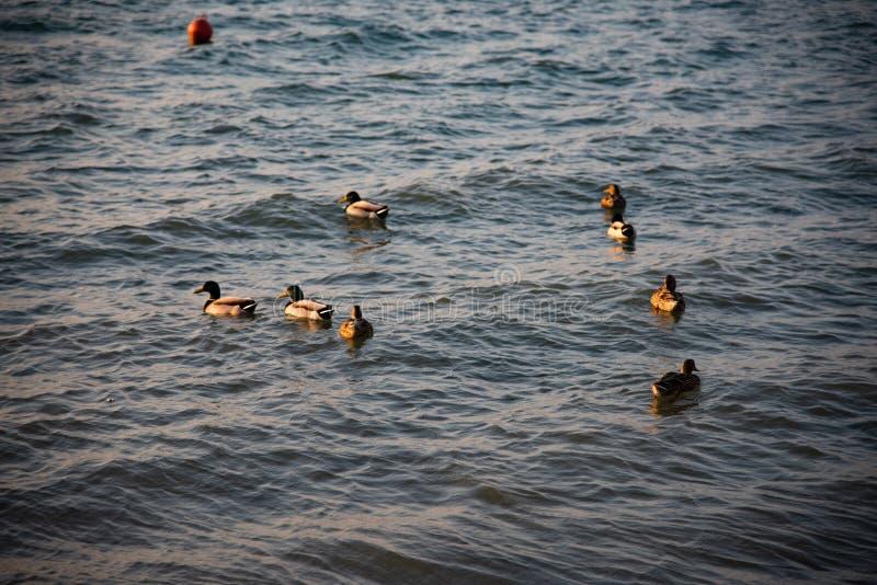 Gruppen av gräsand simmar i den lugna sjön av vintern arkivbild