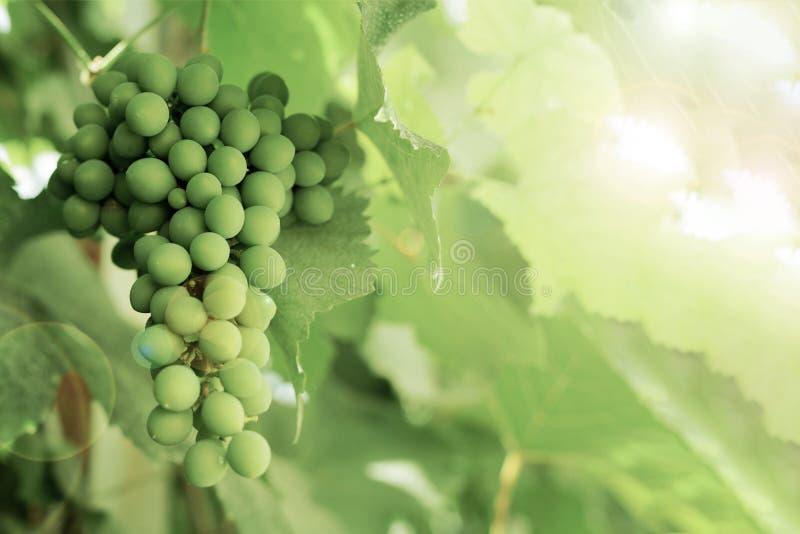 Gruppen av gröna omogna druvor bland de gröna sidorna, med effekt av sollinsen royaltyfri foto