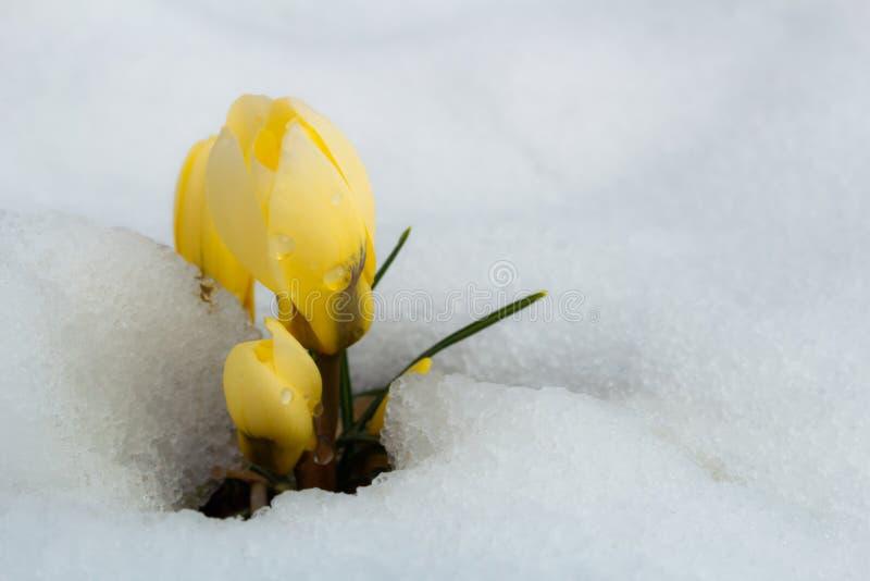 Gruppen av gul krokus blommar i snö royaltyfri fotografi
