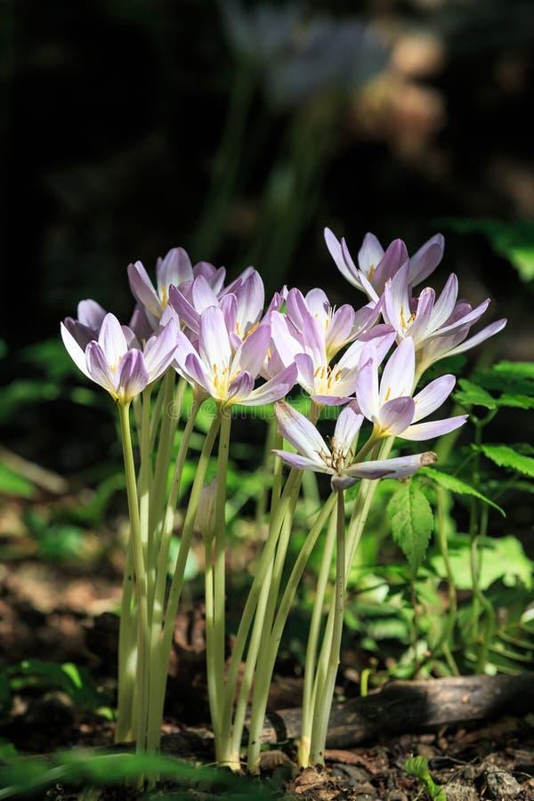 Gruppen av härlig blommande purpurfärgad krokus blommar i en vertikal sikt för solig skog fotografering för bildbyråer