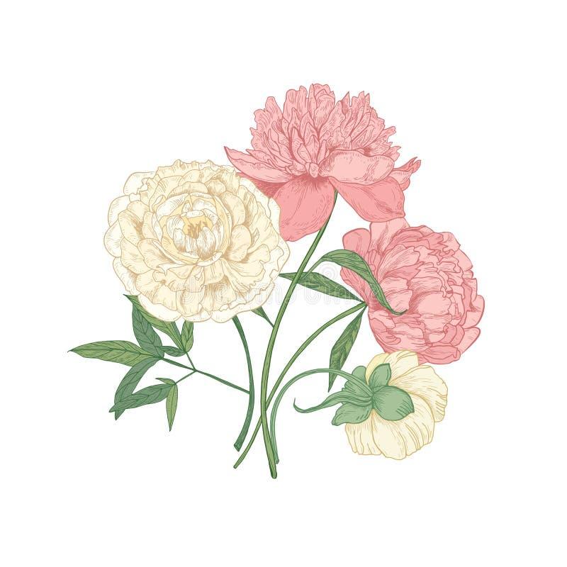 Gruppen av härliga blommande pionblommor räcker utdraget på vit bakgrund Detaljerad botanisk teckning av ursnyggt stock illustrationer