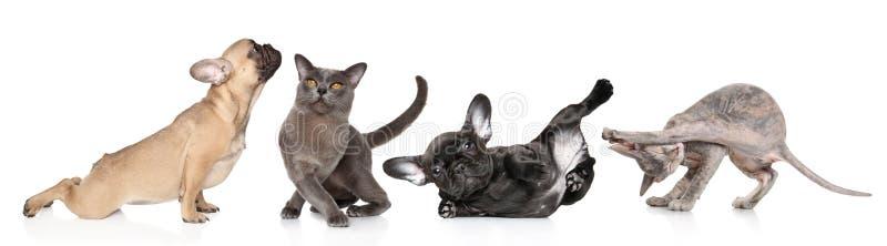 Gruppen av katter och hundkapplöpning i yoga poserar royaltyfria foton