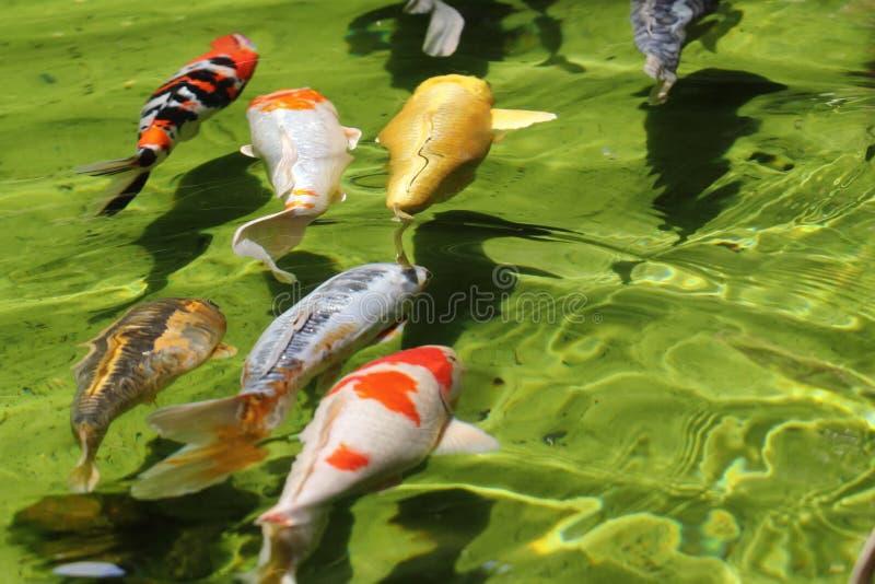 Gruppen av Koi fiskar (karpar) arkivfoton