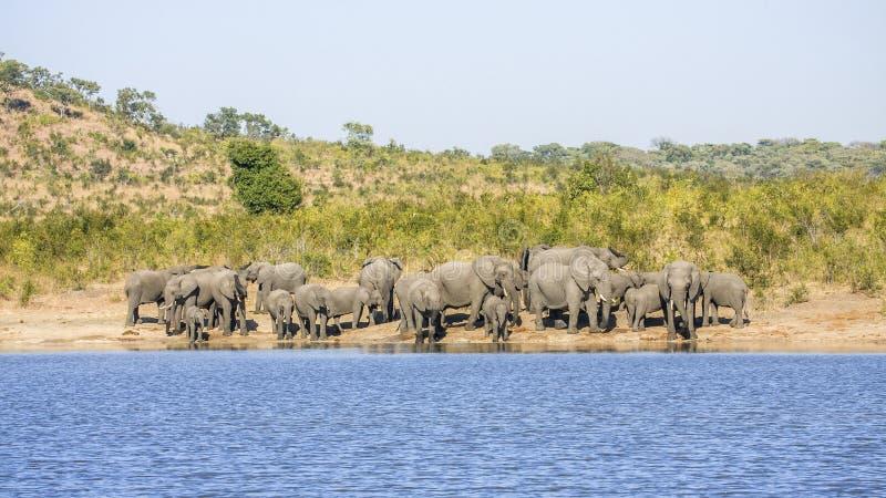 Gruppen av lösa afrikanska buskeelefanter, i Kruger parkerar arkivbilder