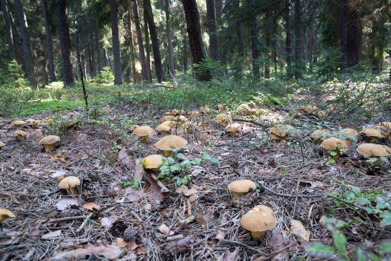 Gruppen av många plocka svamp boletuses som växer på skoggolv från grön mossa, ätlig svamp variegatus för sammetBoleteSuillus royaltyfria bilder