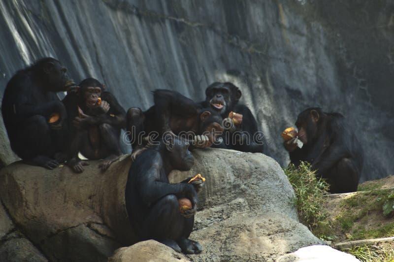Gruppen av Mahale bergschimpanser på LAzooschimpanser hänger på vaggar och äter ut royaltyfri bild