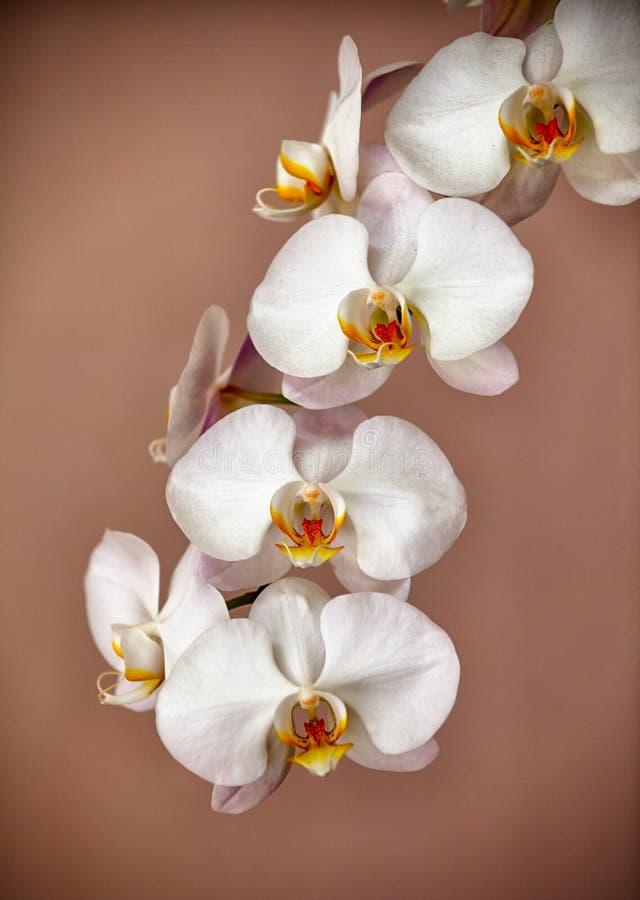 Gruppen av orkidén blommar på brun bakgrund arkivbilder
