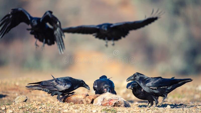 Gruppen av ravensCorvuscorax sitter på ett rov royaltyfria foton