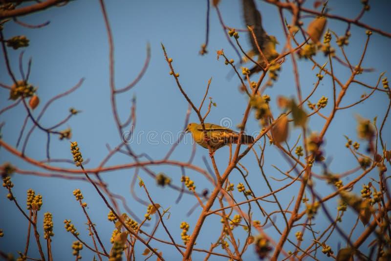Gruppen av Rosa färg-hånglade gröna fåglar för duva (Treron vernans) är per royaltyfria foton