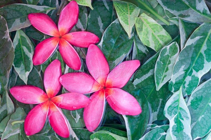 Gruppen av rosa färger gjorde genomvåt frangipanien eller Plumeria på gröna sidor vektor illustrationer