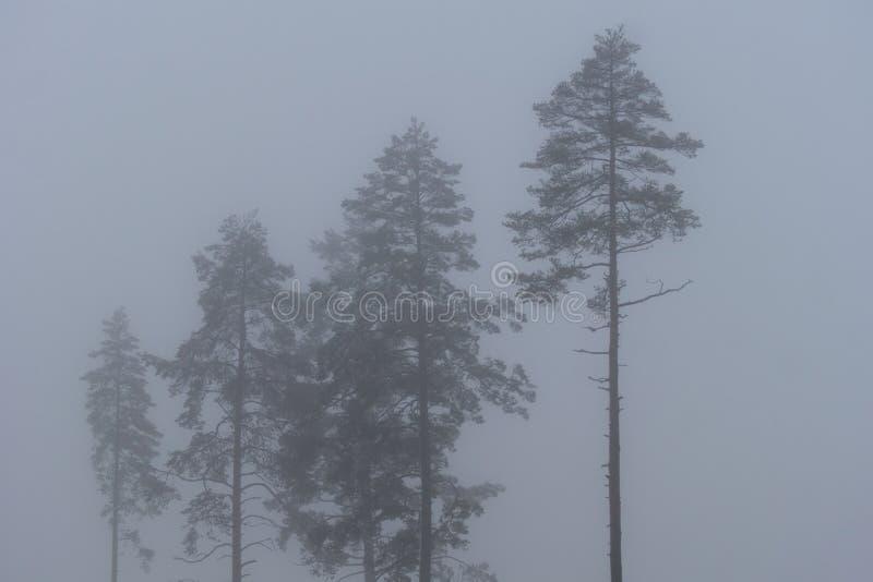 Gruppen av sörjer träd i grå färgvintermist royaltyfri foto