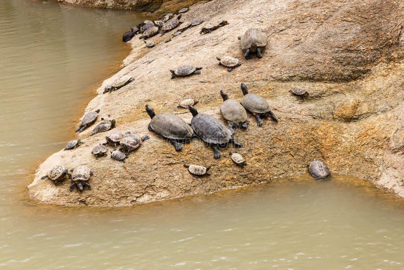 Gruppen av sköldpaddor ligger på en sten royaltyfria foton