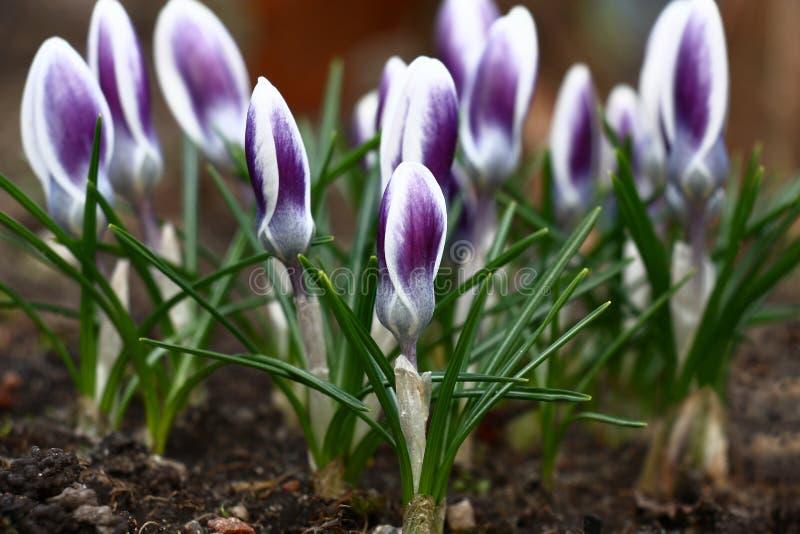 Gruppen av små krokusar möter våren arkivbild