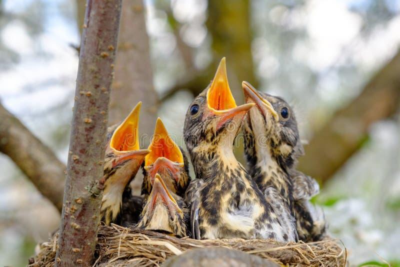 Gruppen av trastfågeln behandla som ett barn att sitta i deras rede med bred öppen väntande på matning för munnar Behandla som et arkivfoton