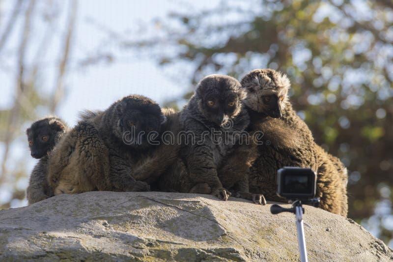 Gruppen av vit-hövdade makier förvånade framme av en kamera arkivbild