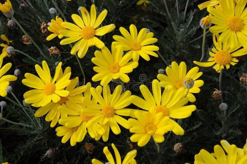 gruppen blommar yellow royaltyfri fotografi