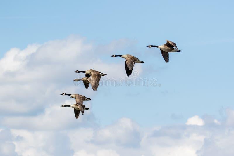 Gruppen eller snattrar av flyg för canadensis för Kanada gässBranta royaltyfria foton