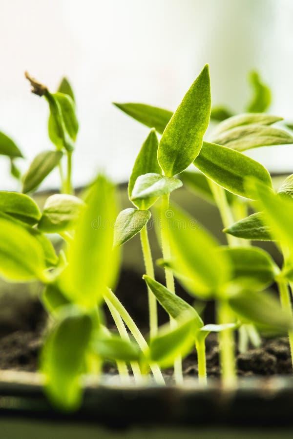 Gruppen-junge Sprösslinge mit Grün lässt das Wachsen vom Boden im Topf lizenzfreies stockfoto