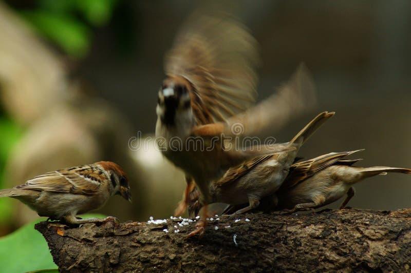 Gruppen vingar för slåendet av för den filippinska Maya Bird Eurasian Tree Sparrow eller förbipasserandemontanusen sätta sig på t royaltyfri fotografi