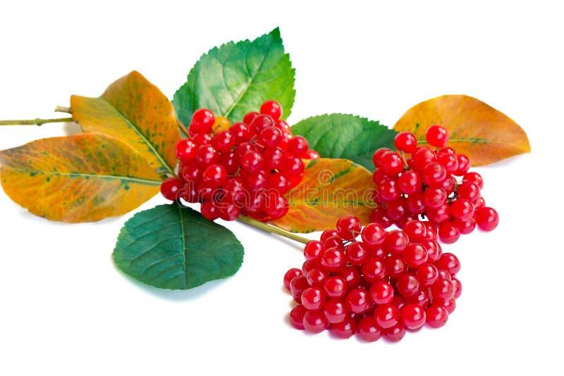 Gruppen von Beeren einer Guelderrose und des Herbstlaubs auf einem whi lizenzfreies stockfoto