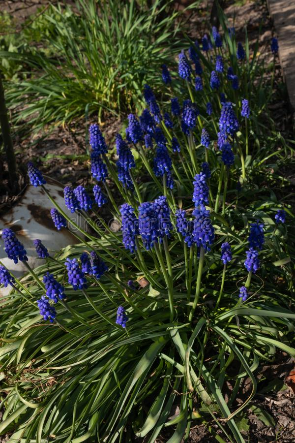 Gruppen von hellen purpurroten Blumen auf den gr?nen B?schen des Blumenbeets stockfotos