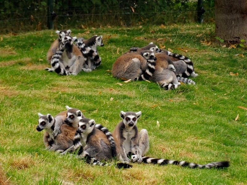 Gruppen von lemuren im Zoo in Augsburg in Deutschland lizenzfreie stockfotos