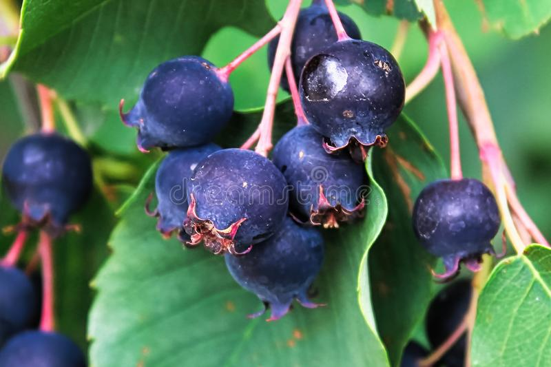 Gruppen von reifen Saskatoon-Serviceberries, die im Sommer hängen lizenzfreie stockfotografie