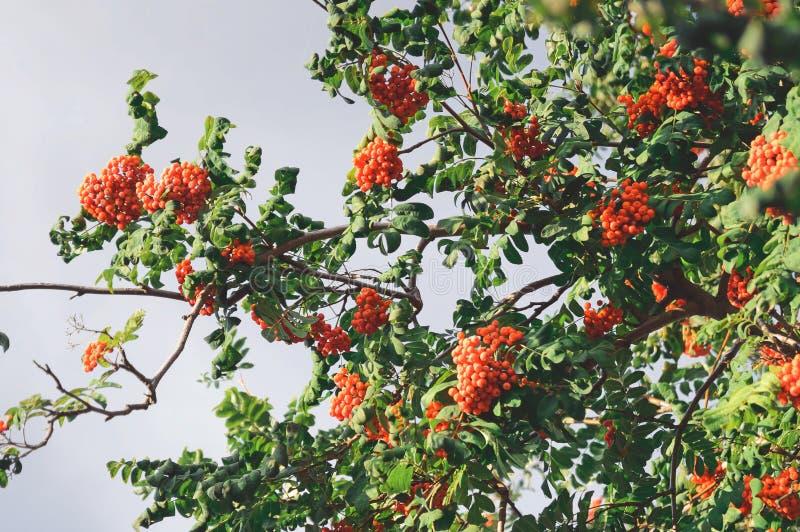 Grupper av den röda rönnen på ett träd höstbakgrundscloseupen colors orange red för murgrönaleaf royaltyfria foton