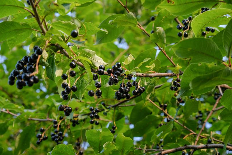 Grupper av häggbär på de gröna filialerna av ett träd royaltyfri fotografi