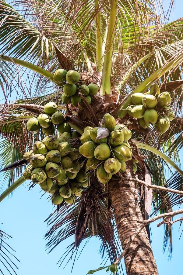 Grupper av kokosnötter på gömma i handflatan royaltyfri fotografi