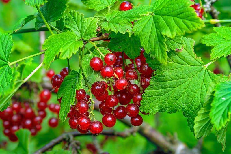 Grupper av mogna ätliga bär för röd vinbär på buskarna arkivfoton