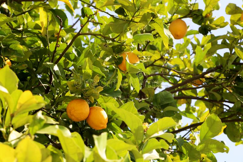 Grupper av nya gula mogna citroner på citronträd arkivfoto