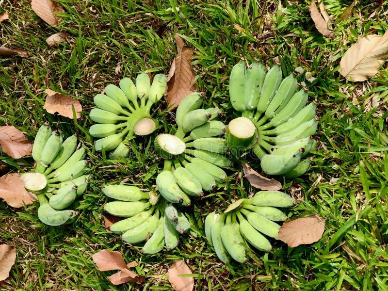 Grupper av precis den klippta gröna nya bananen royaltyfri foto