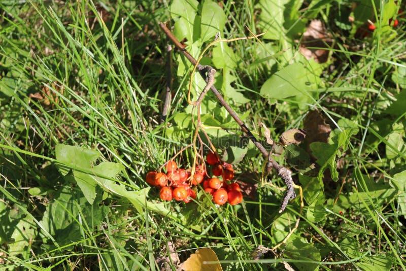 Grupper av röda rönnbär som ligger på gräset arkivfoto