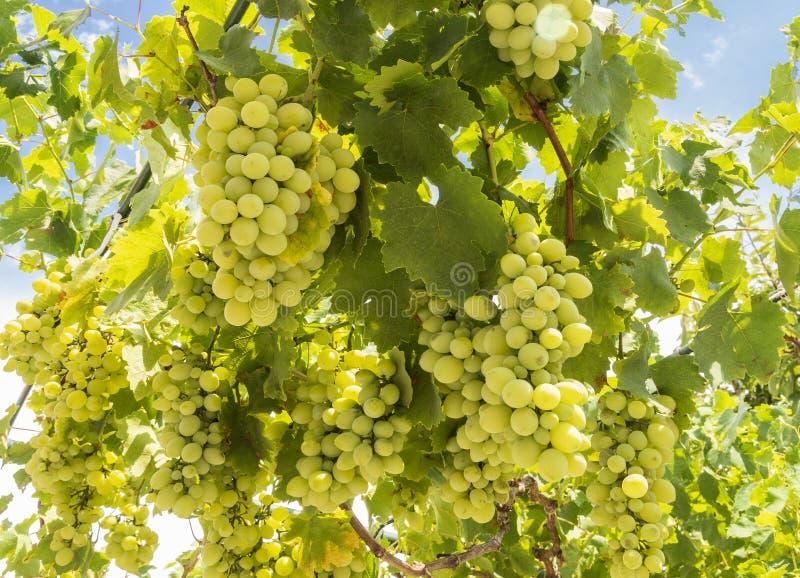 Grupper av vita druvor mognar under den försiktiga sommarsolen på den grekiska ön av Evia royaltyfri foto