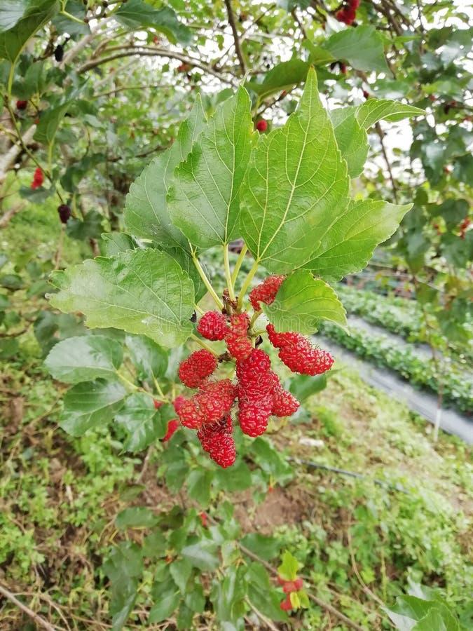 Grupper för röd mullbärsträd i trädgården royaltyfria bilder
