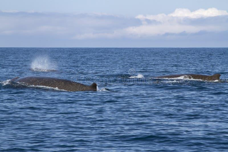 Gruppera norr floaters som svävar längs den nordliga Bering ön arkivfoto
