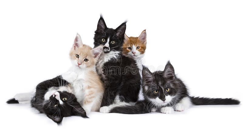 Gruppera op Maine Coon kattungekatter som isoleras på vit bakgrund royaltyfri bild