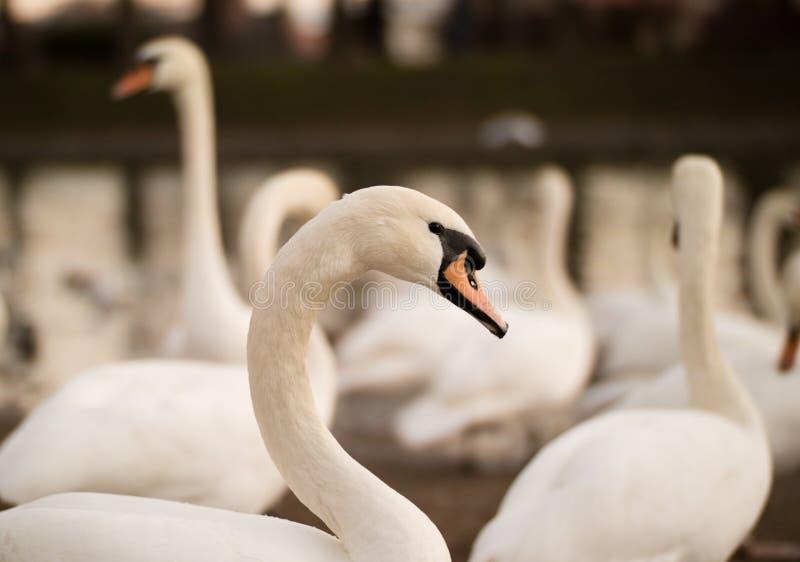 gruppera swans royaltyfri foto