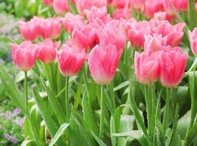 Grupperar den rosa tulpan för färgrika dekorativa blommor med vattendroppar naturliga modeller som blommar i trädgården för bakgr arkivbilder