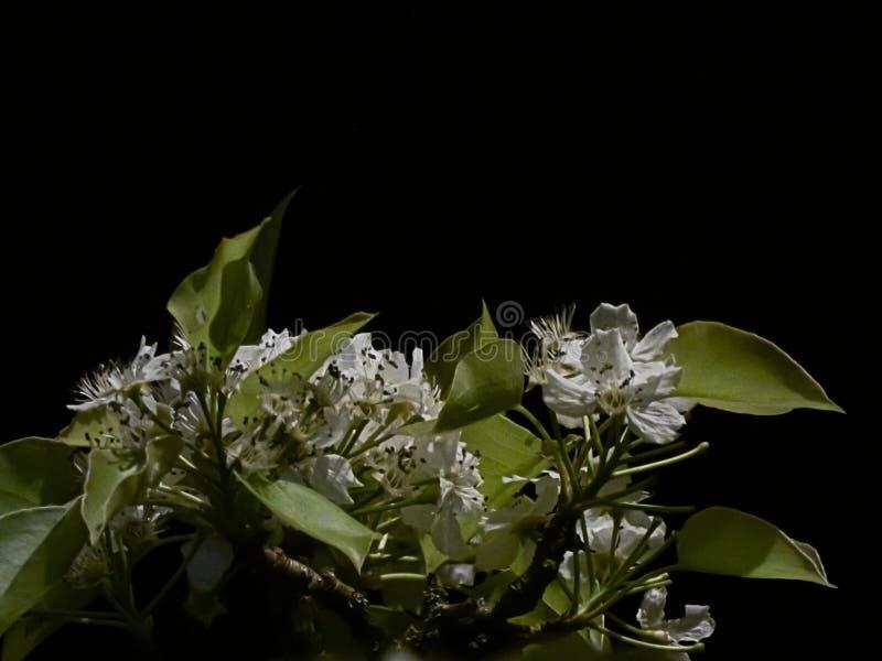 Grupperingar av vita blommor och gröna sidor i våren som blommar på natten arkivfoto