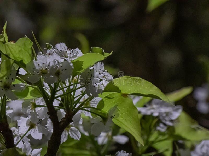 Grupperingar av vita blommor och gröna sidor på träd, i att blomma för vår arkivfoto