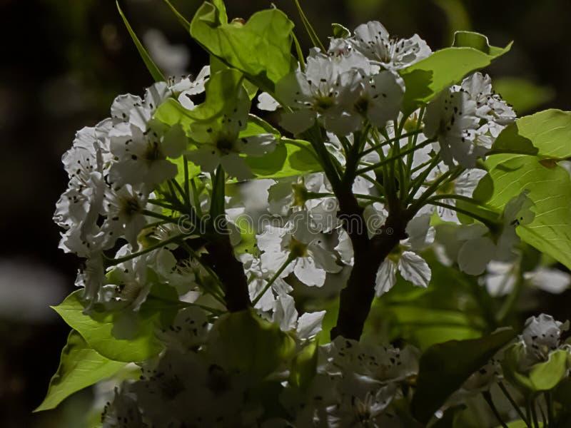 Grupperingar av vita blommor och gröna sidor på träd på natten royaltyfria bilder